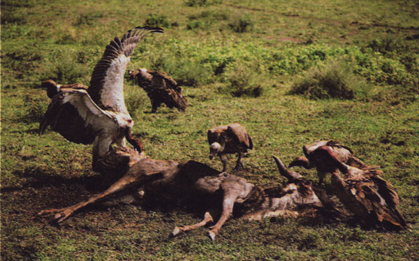 Buitres en el Serengeti